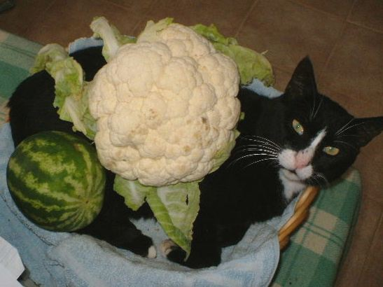 Melon cauli cat