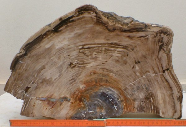 Cut and polished petrified tree trunk cross sectional slice with Opal filled cavity
