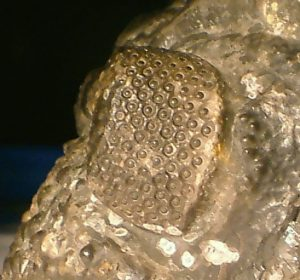hexagonal holochroal compound eye detail